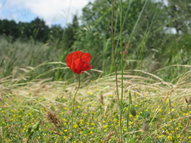 papavero-solo-e-rosso